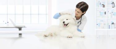 O veterinário veterinário do cão do exame verifica o cão das orelhas em t imagem de stock