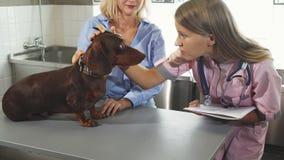 O veterinário está fazendo anotações após cheking acima do texugo-cão alemão imagens de stock