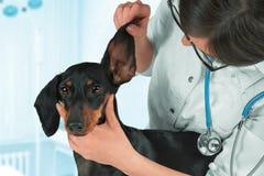 O veterinário examina a orelha de um cão imagem de stock