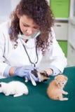 O veterinário examina quatro pequenos bonitos um gatinho Fotografia de Stock