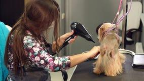 O veterinário seca o cabelo de cão com um secador de cabelo e penteia o yorkshire terrier vídeos de arquivo