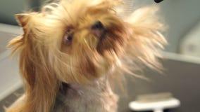 O veterinário seca o cabelo de cão com um secador de cabelo e penteia o yorkshire terrier filme