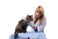 O veterinário tem o gato do exame médico Imagens de Stock