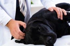 O veterinário verifica a saúde de um cão Imagens de Stock