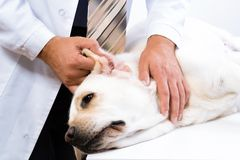 O veterinário verifica a saúde de um cão Fotos de Stock