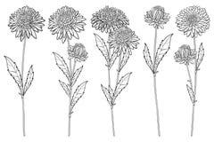 O vetor ajustou-se com o grupo da flor do áster do esboço, a folha ornamentado e o botão no preto isolados no fundo branco Áster  Ilustração do Vetor