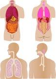 o vetor ajustou um estômago de um intestino um fígado Fotografia de Stock