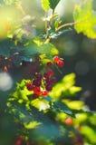 O viburnum vermelho cresce em um ramo fotografia de stock