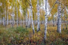 O vidoeiro branco do russo cresce em uma floresta amarela do outono foto de stock royalty free