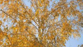 O vidoeiro dourado sae durante o dia do outono no fundo do céu vídeos de arquivo