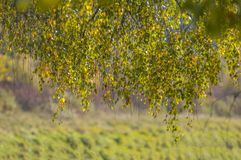 O vidoeiro no sol do outono brilha como um ouro imagens de stock royalty free