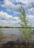 O vidoeiro que cresce na água do rio inundou durante o ponto alto de mola Foto de Stock