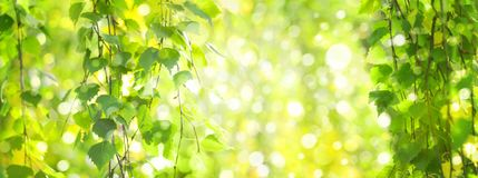 O vidoeiro verde sae do fundo do bokeh dos ramos Imagens de Stock Royalty Free