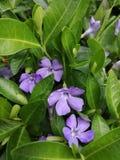 O Vinca floresce na primavera o jardim imagens de stock royalty free
