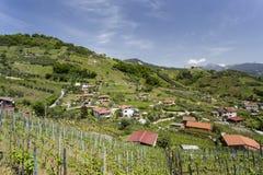 O vinhedo de Candia Imagem de Stock