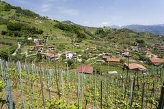 O vinhedo de Candia Imagens de Stock