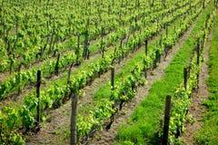 O vinhedo enfileira o verde Imagem de Stock