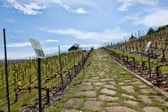 O vinhedo novo plantou paralelamente fileiras em montanhoso imagens de stock royalty free