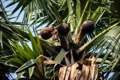 O vinho de palma remove da palmeira no potenci?metro de argila na manh? imagem de stock