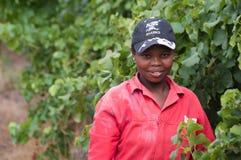 O vinho de Stellenbosch aterra a região perto de Cape Town. Imagens de Stock Royalty Free