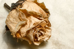 O vintage secado aumentou Fotografia de Stock Royalty Free