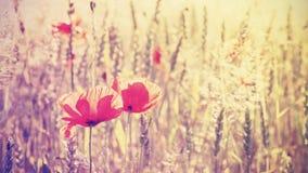 O vintage tonificou flores da papoila no nascer do sol Imagem de Stock