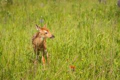 O virginianus Branco-atado de Fawn Odocoileus dos cervos está no campo imagens de stock