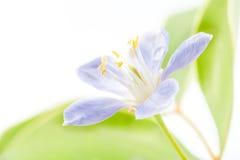 O vitae roxo de Lignum floresce em 3Sudeste Asiático no backgrou branco Foto de Stock Royalty Free