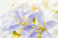 O vitae roxo de Lignum floresce em 3Sudeste Asiático no backgrou branco Imagens de Stock Royalty Free