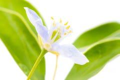 O vitae roxo de Lignum floresce em 3Sudeste Asiático no backgrou branco Imagem de Stock