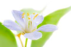 O vitae roxo de Lignum floresce em 3Sudeste Asiático no backgrou branco Imagens de Stock