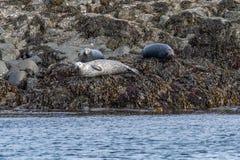 O vitulina do Phoca do selo de porto, ilha de Skye Scotland, uniu o rei imagem de stock royalty free