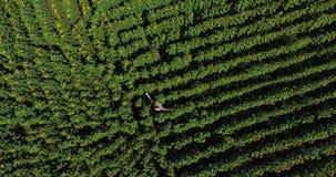 O voo aéreo traseiro, menina moreno bonito da vista superior nos sundress curtos brancos está no campo com os girassóis acenados  vídeos de arquivo