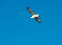 O voo branco no céu azul, uma gaivota da gaivota no fundo azul, pássaro de voo no céu, branco isolou o pássaro no céu azul Fotos de Stock