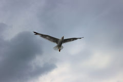 O voo dos cormorões no clima de tempestade Imagem de Stock Royalty Free