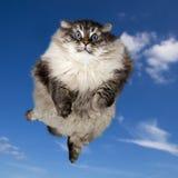 O voo Siberian grande do gato doméstico Imagens de Stock Royalty Free