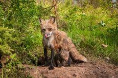 O vulpes do Vulpes do Vixen do Fox vermelho lambe o nariz Kit Beneath foto de stock