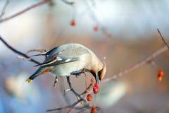 O waxwing dos pássaros nos ramos come a cinza de montanha fotografia de stock