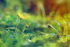 O wedelia de escalada floresce com efeito da luz solar no estilo do vintage Fotografia de Stock Royalty Free