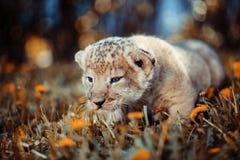 O whelp do leão africano vai caçar Imagens de Stock