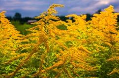 O wildflower amarelo bonito Imagens de Stock Royalty Free