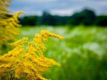 O wildflower amarelo bonito Fotos de Stock