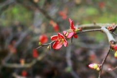 O wildflower vermelho mas tem os espinhos - Chaenomeles Foto de Stock Royalty Free