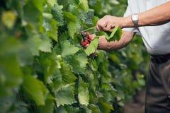 O winemaker superior corta os galhos no vinhedo Imagens de Stock Royalty Free
