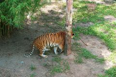 O wis Malayan do tigre (Panthera tigris tigris) uma população do tigre em Malásia peninsular fotos de stock royalty free