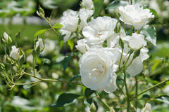 O witte de Takje rozen o lat Rosa encontrou bloemblaadjes delicados Fotos de Stock