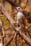 O Woodpecker cardinal imagem de stock royalty free