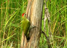 O woodpicker do gree é um pássaro raro imagem de stock