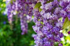 O wysteria roxo delicado floresce o fundo da natureza Foto de Stock Royalty Free