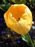 O Yehuda Yellow Tulip 2011 Fotografía de archivo libre de regalías